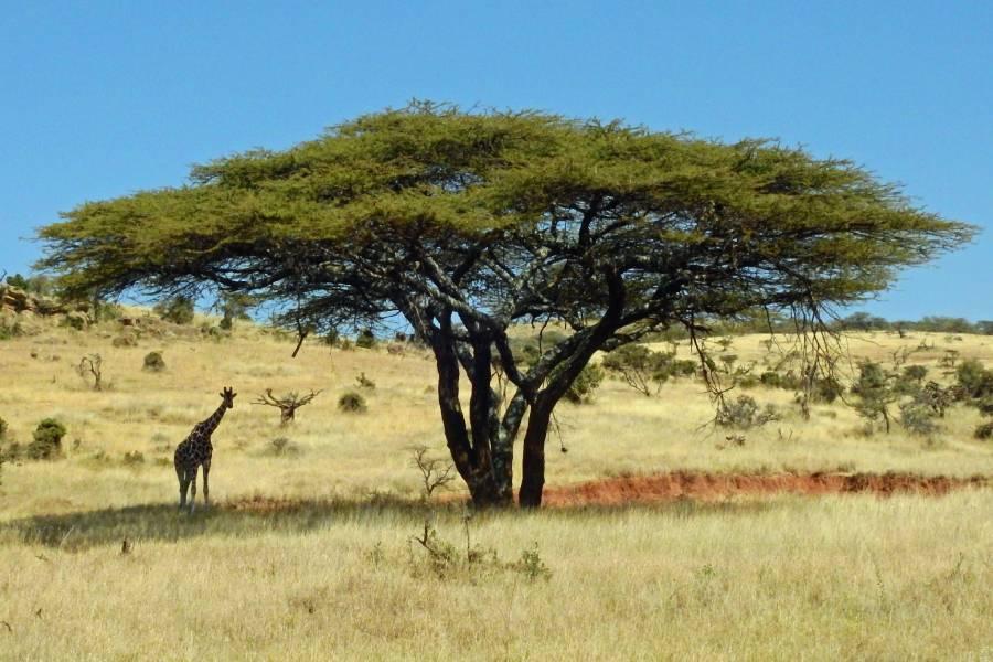 Acacia Eastern Africa